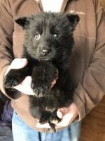German Shepherd Puppies for sale in Hebron, IN 46341, USA. price: NA