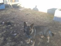 German Shepherd Puppies for sale in Wichita, KS 67217, USA. price: NA
