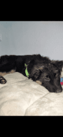 German Shepherd Puppies for sale in Seattle, WA, USA. price: NA
