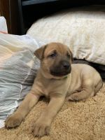 German Shepherd Puppies for sale in Black Diamond, WA 98010, USA. price: NA