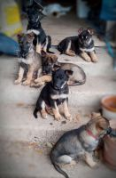 German Shepherd Puppies for sale in Bedias, TX 77831, USA. price: NA