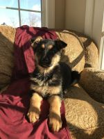 German Shepherd Puppies for sale in Woodstown, NJ 08098, USA. price: NA