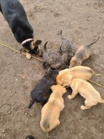 German Shepherd Puppies for sale in Yreka, CA 96097, USA. price: NA