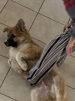 German Shepherd Puppies for sale in Killeen-Temple-Fort Hood, TX, TX, USA. price: NA