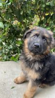 German Shepherd Puppies for sale in San Diego, CA, USA. price: NA