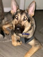 German Shepherd Puppies for sale in Spokane, WA 99208, USA. price: NA