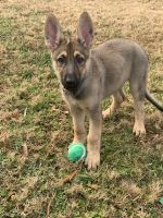German Shepherd Puppies for sale in Chesapeake, VA 23320, USA. price: NA