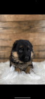 German Shepherd Puppies for sale in Chatom, AL 36518, USA. price: NA