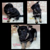 German Shepherd Puppies for sale in Vinita, OK 74301, USA. price: NA