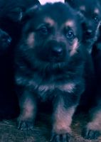 German Shepherd Puppies for sale in Warren, MI, USA. price: NA