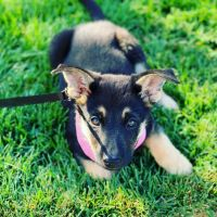 German Shepherd Puppies for sale in Sacramento, CA, USA. price: NA