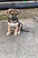 German Shepherd Puppies for sale in San Jose, CA, USA. price: NA