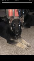 German Shepherd Puppies for sale in Oklahoma City, OK, USA. price: NA