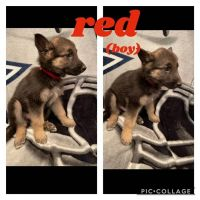 German Shepherd Puppies for sale in Midlothian, TX, USA. price: NA