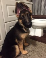 German Shepherd Puppies for sale in Portland, OR, USA. price: NA