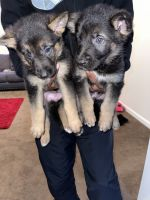 German Shepherd Puppies for sale in Augusta, GA, USA. price: NA