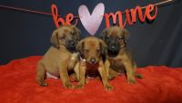 German Shepherd Puppies for sale in Ottawa, IL 61350, USA. price: NA