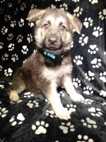 German Shepherd Puppies for sale in Bowling Green, OH, USA. price: NA