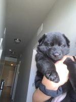 German Shepherd Puppies for sale in 807 E Belmont St, Caldwell, ID 83605, USA. price: NA
