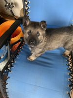 German Shepherd Puppies for sale in LaGrange, GA, USA. price: NA