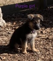 German Shepherd Puppies for sale in Suwanee, GA 30024, USA. price: NA