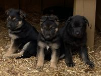 German Shepherd Puppies for sale in Inman, SC 29349, USA. price: NA