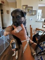 German Shepherd Puppies for sale in Tucson, AZ, USA. price: NA