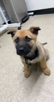German Shepherd Puppies for sale in Plano, TX, USA. price: NA