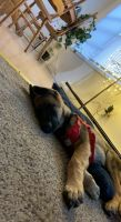German Shepherd Puppies for sale in Rockford, IL, USA. price: NA