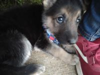 German Shepherd Puppies for sale in Simsboro, LA 71275, USA. price: NA
