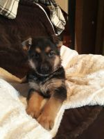 German Shepherd Puppies for sale in Mifflinburg, PA 17844, USA. price: NA