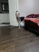 German Shepherd Puppies for sale in Columbus, GA, USA. price: NA