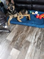 German Shepherd Puppies for sale in Paducah, KY, USA. price: NA