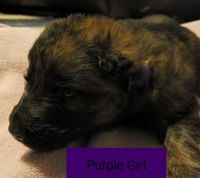 German Shepherd Puppies for sale in Carlisle, KY 40311, USA. price: NA