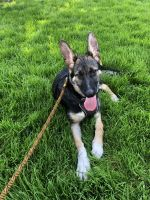 German Shepherd Puppies for sale in San Francisco, CA, USA. price: NA