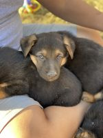 German Shepherd Puppies for sale in Litchfield Park, AZ, USA. price: NA