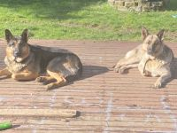 German Shepherd Puppies for sale in Lacey, WA 98516, USA. price: NA