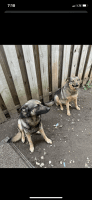 German Shepherd Puppies for sale in Trenton, OH, USA. price: NA