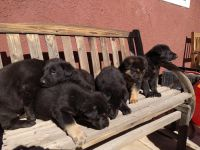 German Shepherd Puppies for sale in Hesperia, CA, USA. price: NA