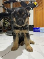 German Shepherd Puppies for sale in Forest Hills, Queens, NY 11375, USA. price: NA