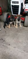 German Shepherd Puppies for sale in Creston, OH 44217, USA. price: NA