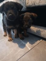 German Shepherd Puppies for sale in Dallas, TX, USA. price: NA