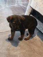 German Shepherd Puppies for sale in Baton Rouge, LA, USA. price: NA