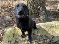 German Shepherd Puppies for sale in St. Augustine, FL, USA. price: NA