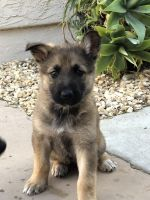 German Shepherd Puppies for sale in El Cajon, CA, USA. price: NA