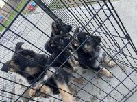 German Shepherd Puppies for sale in Modesto, CA, USA. price: NA