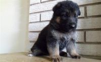 German Shepherd Puppies for sale in Hillsboro, OR 97006, USA. price: NA