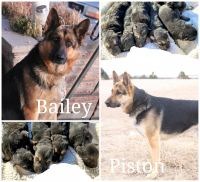 German Shepherd Puppies for sale in Denver, CO, USA. price: NA