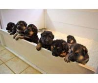 German Shepherd Puppies for sale in St. Louis, MO, USA. price: NA