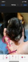 German Shepherd Puppies for sale in Linden, TN 37096, USA. price: NA